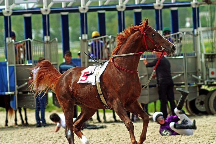 Racehorse starting gates