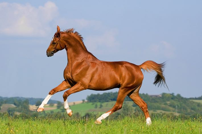 Athletic race horse