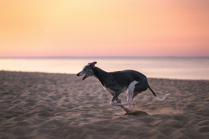 Greyhound running on a beach