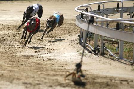 Greyhounds sprinting