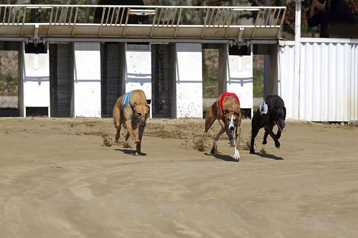 Greyhound trap racing