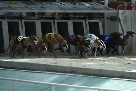 Greyhound trap racing