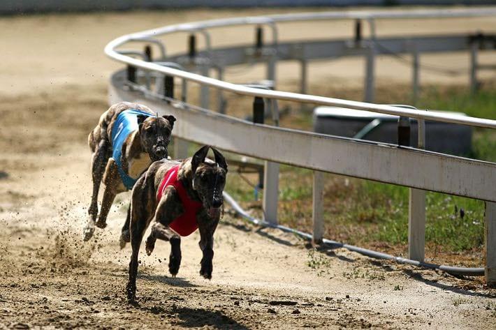 Two greyhounds racing
